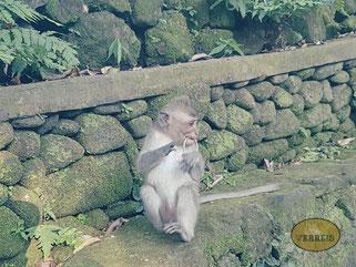 Affe in Ubud