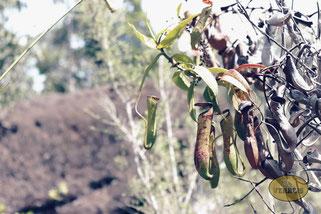 Pflanzen im Bako Nationalpark