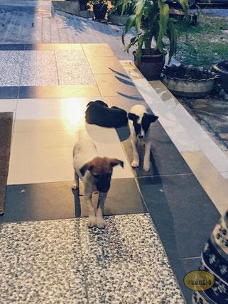 Hundewelpen Malaysia