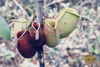 Pflanze im Bako Nationalpark