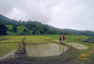 Reisfelder in Pai