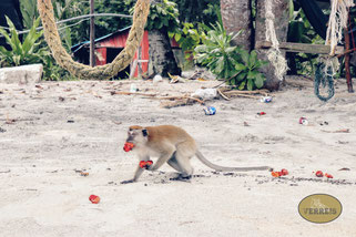 Affe am Monkey Beach
