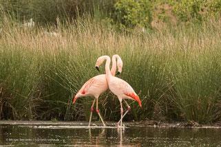 Flamingos in Deutschland