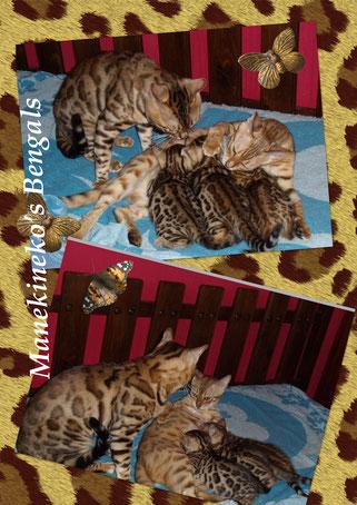 portée de chatons de race bengal