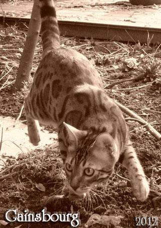 gatito de raza bengal. Manekineko Bengals