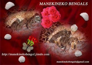 chatons de race bengal