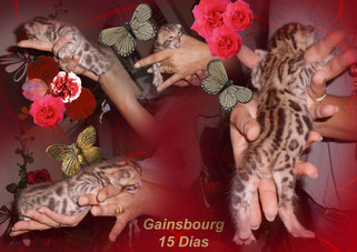 chaton bengal, Manekineko Gainsbourg, 15 jours