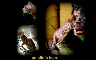 Ch.Praslin's Icaro, male brown tabby spotted à rosettes