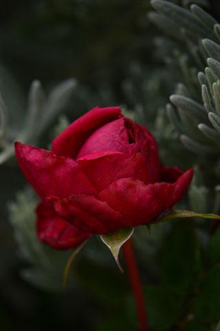 small sunny garden, amy myers, desert garden, photography, garden, arizona, gbbd, garden bloggers bloom day, january, flowers, rose, english rose, william shakespeare 2000, david austin