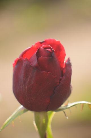 small sunny garden, amy myers, desert garden, photography, garden, arizona, gbbd, garden bloggers bloom day, january, flowers, rose, hybrid tea, mister lincoln