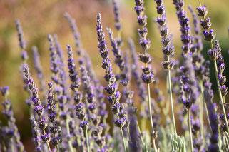 small sunny garden, amy myers, desert garden, photography, garden, arizona, gbbd, garden bloggers bloom day, january, flowers, lavender, lavandula, goodwins creek gray