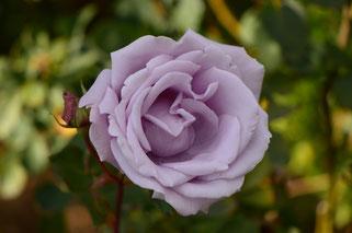 small sunny garden, amy myers, desert garden, photography, garden, arizona, gbbd, garden bloggers bloom day, january, flowers, rose, hybrid tea, sterling silver, fragrant