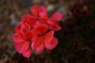 small sunny garden, amy myers, desert garden, photography, garden, arizona, gbbd, garden bloggers bloom day, january, flowers, pelargonium, hortatum, geranium