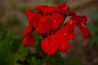 small sunny garden, amy myers, desert garden, photography, garden, arizona, gbbd, garden bloggers bloom day, january, flowers, pelargonium, geranium, hortatum