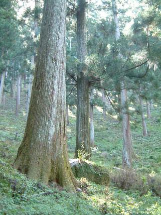 写真:奈良吉野400年生の杉