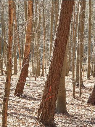 Abgestorbenes Totholz wird aufgearbeitet, obwohl das Ökosystem auf deren Biomasse dringend angewiesen ist.