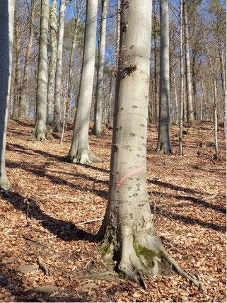 Markierte Buchen im Oberhang des Mühltals. Kein Totholz auf dem Boden, keine Strauchschicht. De Umsetzung der Maßnahme würde den Buchenbestand einer starken Sonneneinstrahlung aussetzen und den Klimastress des Waldökosystems verstärken.