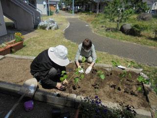 手際よく苗を植えていきます