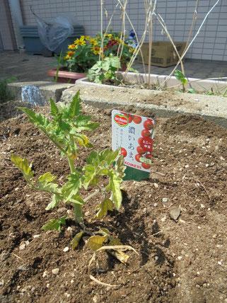 今年は「プチトマト」を植えてみました
