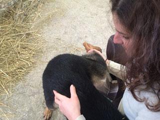 Manipulation d'une vertèbre lombaire chez un berger allemand