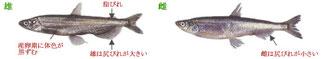 柳葉魚:サケ目 キュウリウオ科 シシャモ属