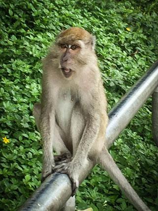 Affen in Songkhla