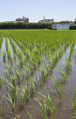 そよ風に揺れているのは、すでに「苗」ではなく「稲」だった。