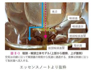 食事は喉頭蓋に当たり左右に分かれる
