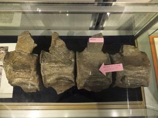 2008年に豊平川で見つかったクジラ化石のレプリカ(札幌市博物館活動センター展示品)