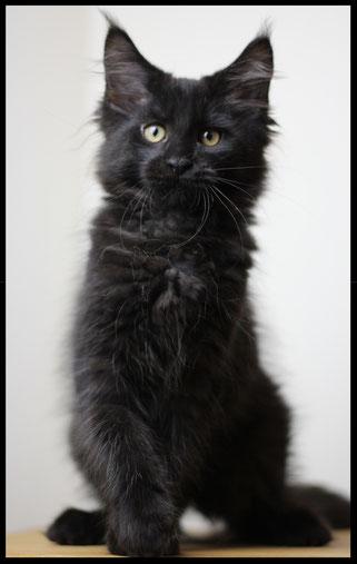 Maine Coon schwarzer Panther