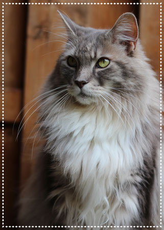 Kastrat Maine Coon Beethoven