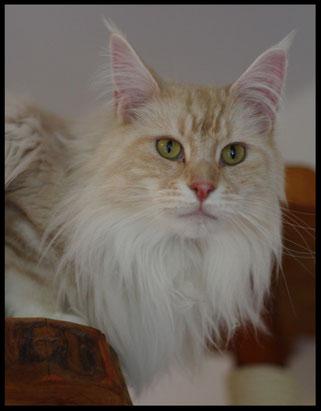Maine Coon Katze aus der Katzen Zucht Dantes Peak