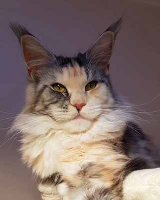 Maine Coon in black silver cl.tabby white