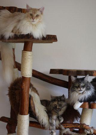 Maine coon Katze und Kater - Coonie Mädchen