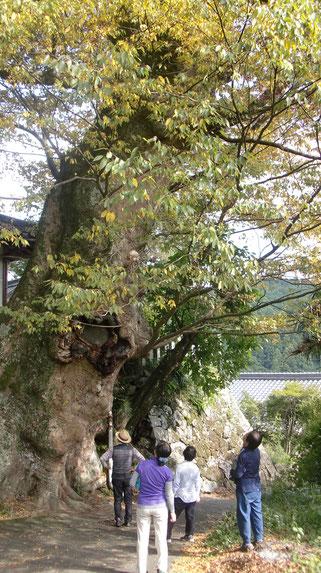 欅(けやき)の大木