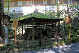 大神神社境内にある衣掛杉