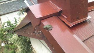 カエルです。屋根の上なんだけどなー??