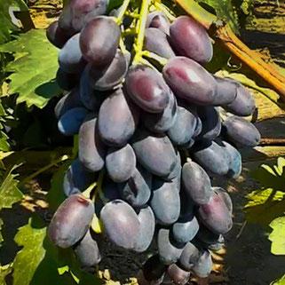 сорт винограда Джованни