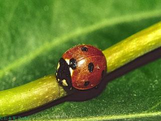 Siebenpunkter (C.septempunctata)