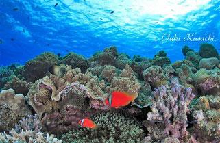 渡嘉敷島の珊瑚とクマノミの水中写真