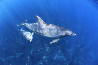 御蔵島の親子イルカとドルフィンスイム中、興味を示してきた子供のイルカ