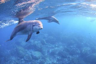ドルフィンスイム中であった興味を示す御蔵島のイルカ