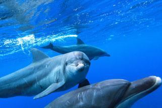御蔵島ドルフィンスイム:イルカの群れ