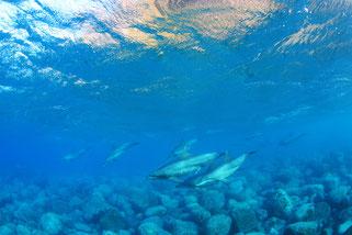 泳ぎながら休憩している御蔵島のイルカ写真