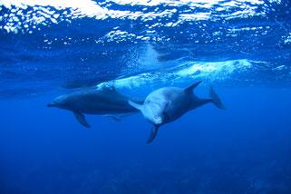御蔵島ドルフィンスイム中のイルカ