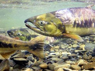 鮭の遡上産卵スイムツアーイメージ:目の前を泳ぐ鮭