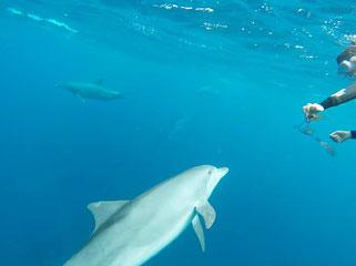 海藻でキャッチボールする御蔵島のイルカとドルフィンスイム