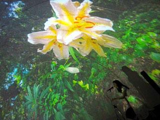 御蔵島のサクユリ:イルカプラネタリウム