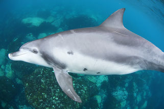 ダルマザメの傷跡が残る御蔵島のイルカ