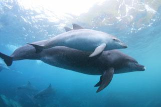 御蔵島の親子イルカとドルフィンスイム
